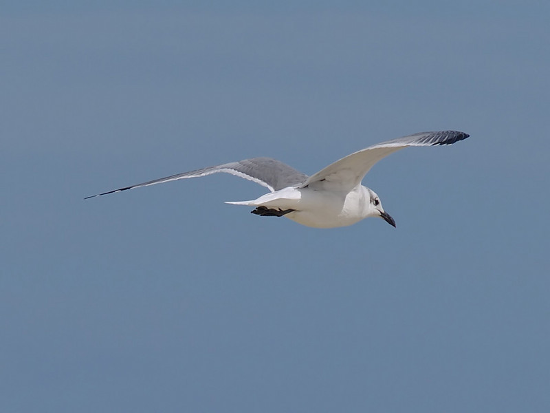 Laughing Gull, <I>Larus atricilla</I> L., Chincoteague, VA