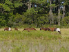 Ponies seen from the Woodland trail, Chincoteague, VA