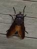 Black Horse Fly, <I>Tabanus atratus</I> Fabricius, Marsh trail, Assateague Island, Chincoteague, VA