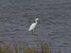 Snowy Egret, <I>Egretta thula</I> (Molina), Chincoteague, VA