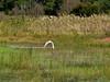 Great Egret, <I>Ardea alba</I> L., Marsh trail, Assateague Island, Chincoteague, VA