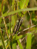 A grasshopper on the Woodland trail, Chincoteague, VA