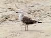 Herring Gull, <I>Larus argentatus</I> Pontoppidan, Chincoteague, VA