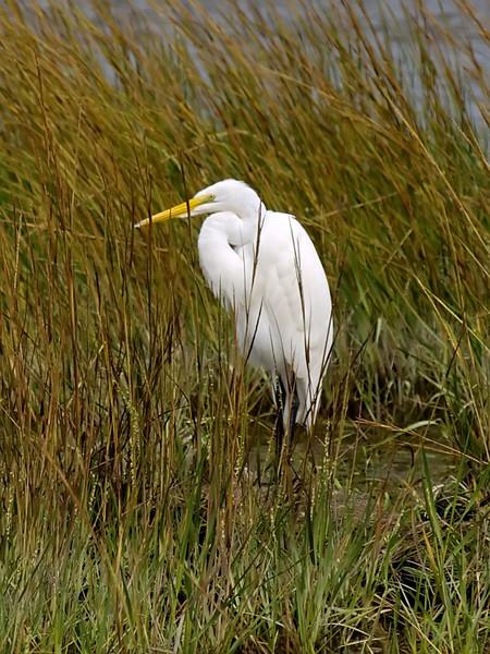 Great Egret, <I>Ardea alba</I> L., Chincoteague, VA