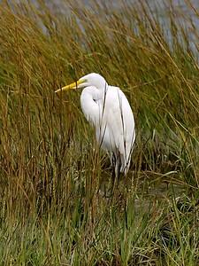 Great Egret, Ardea alba L., Chincoteague, VA