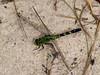 Common Green Darner, <I>Anax junius</I> (Drury), Marsh trail, Assateague Island, Chincoteague, VA