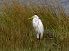 Great Egret, <I>Ardea alba</I> L., Chincoteague, VA