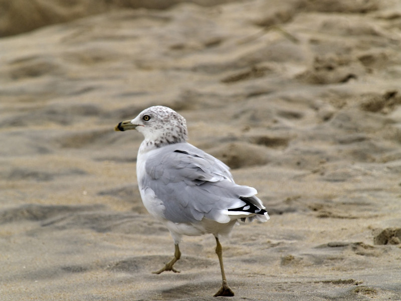 Ring-billed Gull, <I>Larus delawarensis</I> Ord, Chincoteague, VA