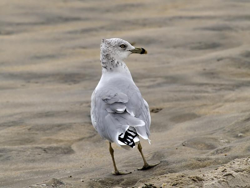 Ring-billed Gull, <I>Larus delawarensis</I> Ord, Chincoteague, VA