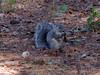 Delmarva fox squirrel, <I>Sciurus niger cinereus</I> L., Assateague Island, Chincoteague, VA