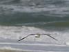 Laughing Gull, <I>Larus atricilla</I> L., Chincoteague, VA