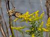 Monarch butterfly, <I>Danaus plexippus</I> L., Marsh trail, Assateague Island, Chincoteague, VA