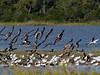 Black Skimmer, <I>Rynchops niger</I> L., Chincoteague, VA