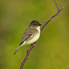 Eastern Phoebe - Green Cay