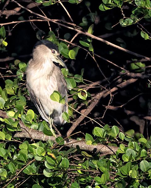 Black-crowned Night Heron preening. Green Cay