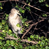 Black-crowned Night Heron preening. Green Cay