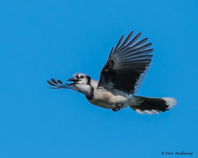 Blue Jay in Flight - Green Cay , Boynton Beach, FL