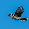 Blue Jay in Flight - Green Cay , Boynton Beach, FL