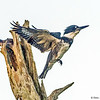Belted-Kingfisher's Take-off - Green Cay