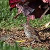 My Brown Thrasher chick following the adult.- Boynton Beach, FL