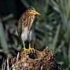 Juvenile Green Heron - Green Cay, Boynton Beach, FL