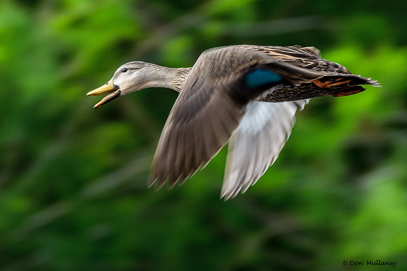 A female Mallard in flight - Wakodahatchee Wetlands, Delray Beach, FL