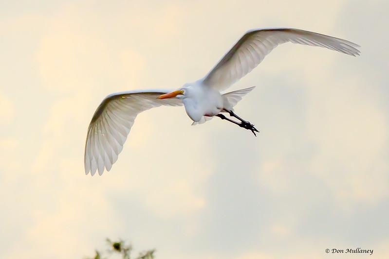 Great Egret in flight - Green Cay 9/20/17