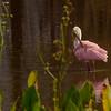 Roseate Spoonbill preening - Green Cay 9/20/17