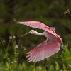 Roseate Spoonbill in flight - Green Cay 9/20/17