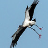 Wood Stork landing - Wakodahatchee Wetlands