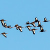 A Black-bellied Duck Flyover