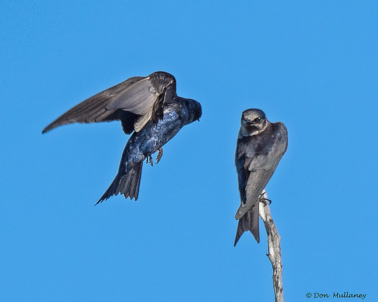 A Purple Martin stare down - Green Cay