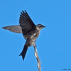 Female Purple Martin - Green Cay
