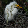 A  disheveled Great Egret chick, - Wakodahatchee Wetlands