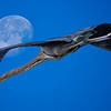 Great Blue Heron with Moon (composite)