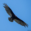 A Turkey Vulture checking me out - Green Cay