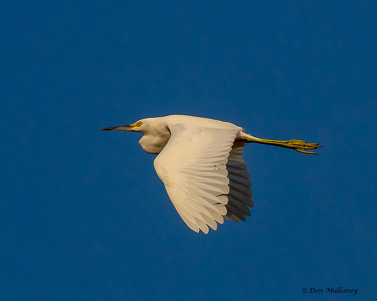 A Great Egret in flight - Green Cay 9/20/17