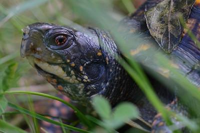 Box Turtle in the Grass