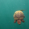 Swimming Snapping Turtle