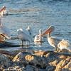 White Pelicans, Klamath Marina, Oregon