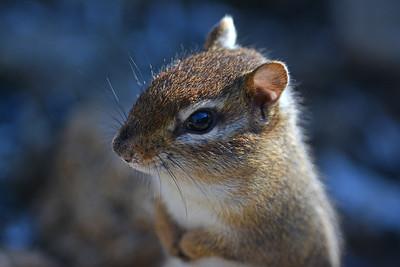 Pensive Chipmunk