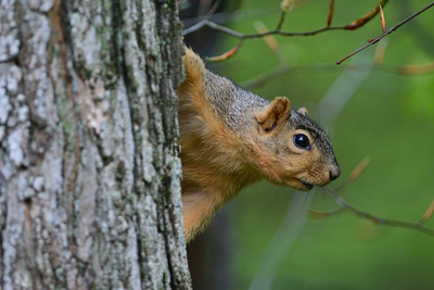 Red Squirrel on a Maple Tree