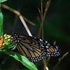 Monarch on Elm Street 1