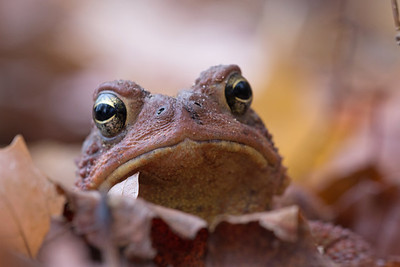 Toad Among Fallen Leaves