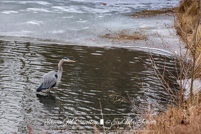 01/08/2018 - Icy Walk - Heron