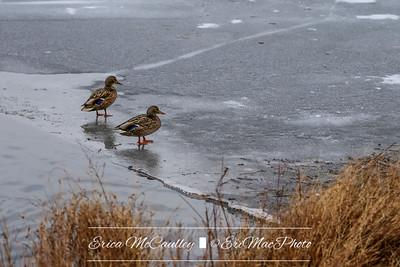 01/08/2018 - Icy Walk - Ducks on the Ice