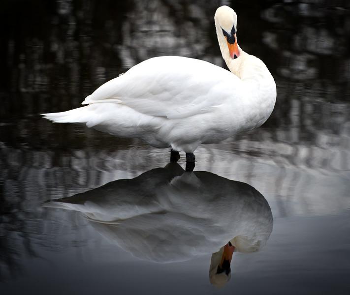 Swan, Sankey Valley Park Warrington