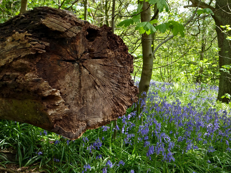 'Bluebell Wood' in Ilkley