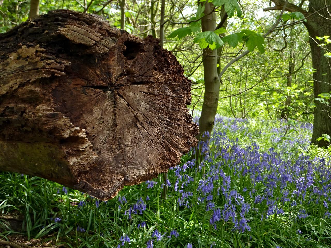 'Bluebell Wood' in Ilkley