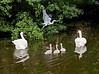 Swans and a heron on the canal near Riddlesden